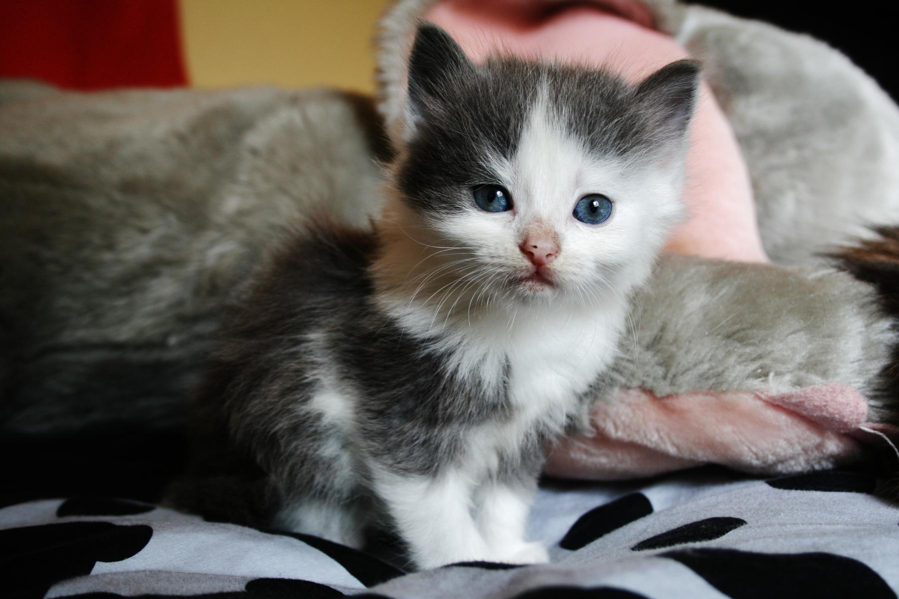 Att klippa långhåriga katter kan leda till gos