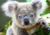 koala01reklam.jpg
