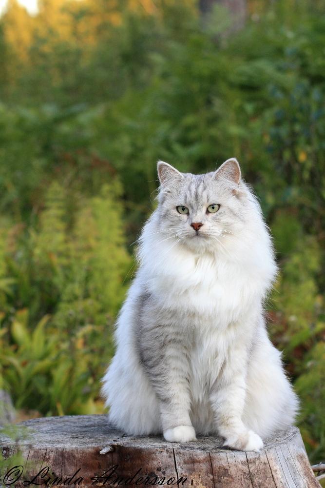 sibirisk katt omplacering