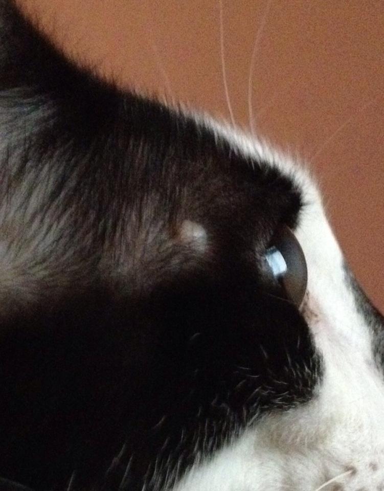 katt knöl på halsen