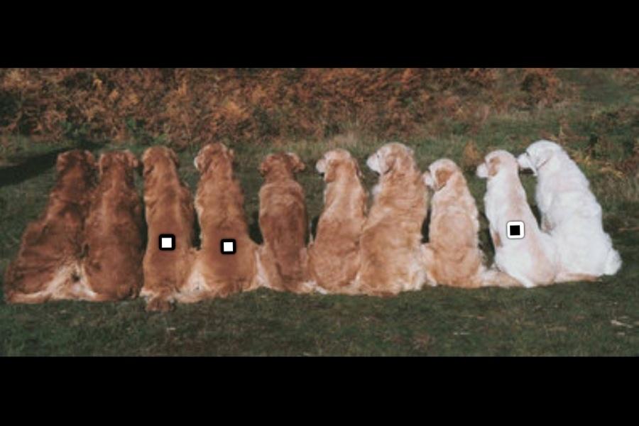 söt hundvalpar valp golden retriever