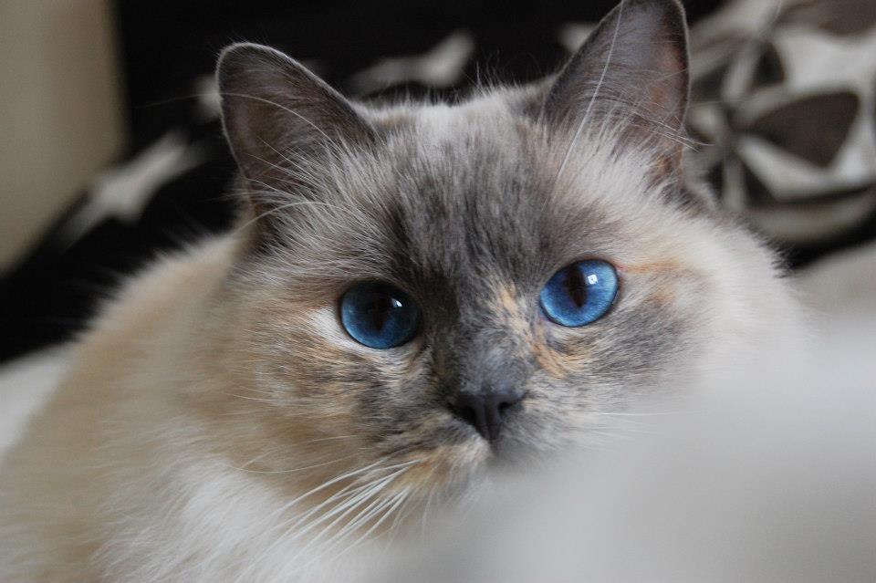 kattras blå ögon