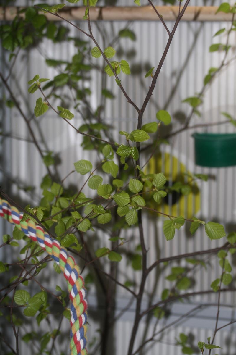 träd ask blad