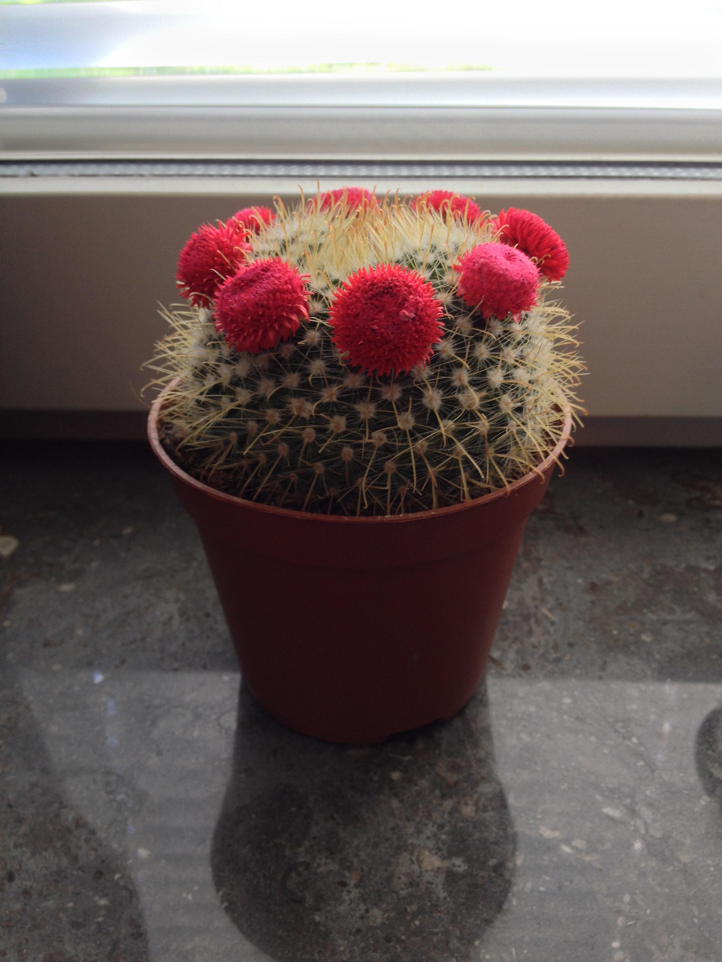 Bilder på era kaktusar   krukväxter, utomhus och inomhus ...